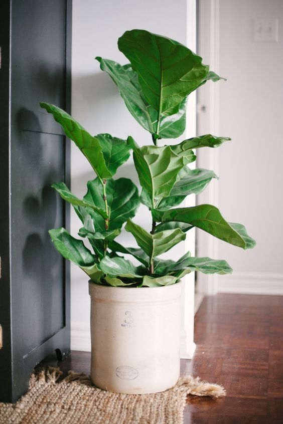 Fiddle Tree Fig