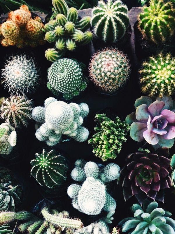 Dozen potted colourful cacti