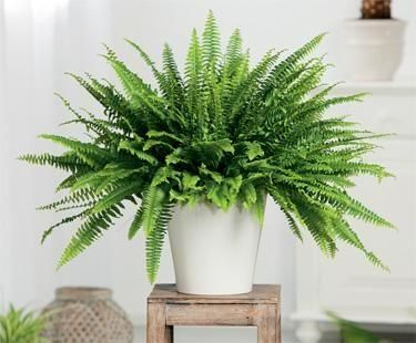 White pot with green fern on top of stool with white backdrop